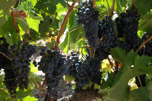 Red Grapes in Alentejo