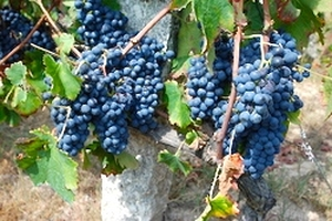 Discover Portuguese wine grapes